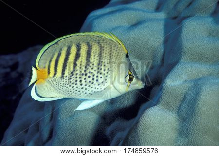 A Spot-banded Butterflyfish, Chaetodon punctatofasciatus  on a coral reef at the Kwajalein Atoll in the Pacific