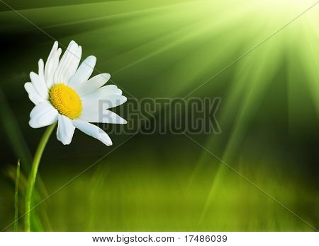 One daisy and the sun