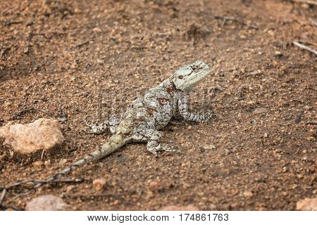 Female Southern Tree Agama lizard in Kruger National Park, South Africa.