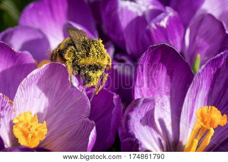 A bumblebee is covered with yellow pollen from crocus flowers.