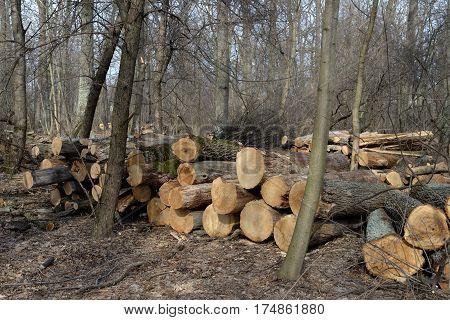 Pile of felled oak logs in the forest