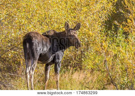 a shiras moose cow in fall in Grand Teton National Park Wyoming