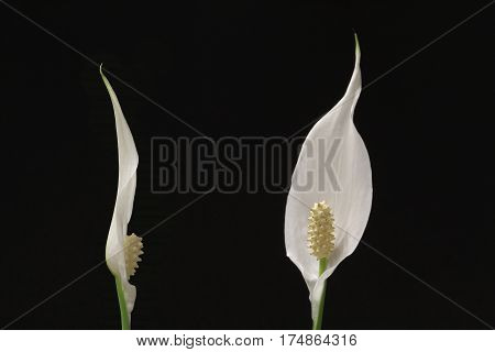 two flowers of peace lily houseplant on black background