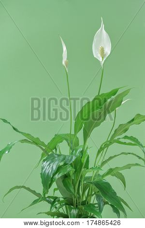 picture of peace lily houseplant on green background