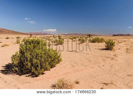 Some bushes in the very dry Sahara desert in Morocco.