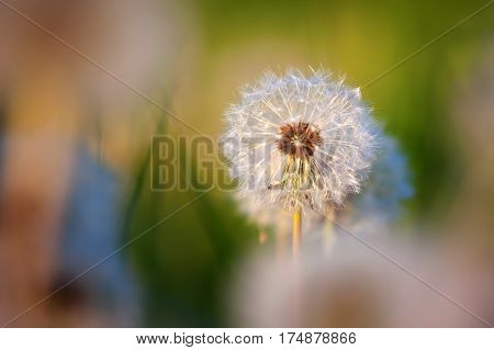 Blowball In The Meadow With Morning Light