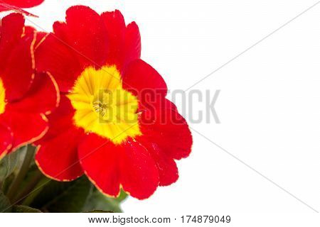 Closeup Macro Red Yellow Primrose Flowers Background