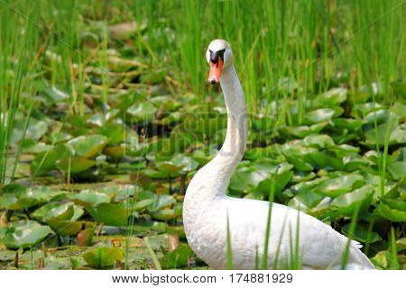 Close up shot of Swan in the marsh