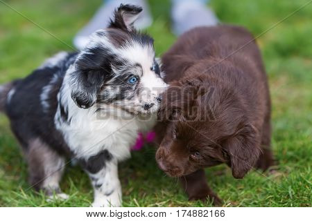 Two Australian Shepherd Puppies On The Lawn