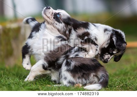 Two Fighting Australian Shepherd Puppies
