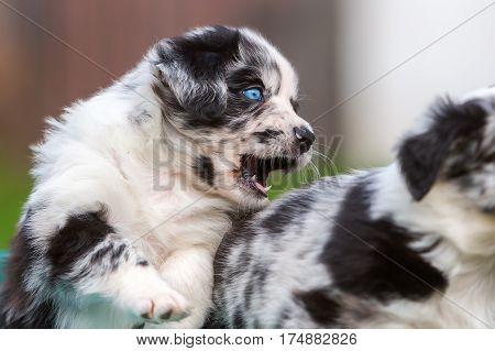Australian Shepherd Puppy Barks To A Sibling