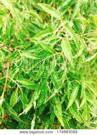 Polyscias Fruticosa Or Ming Aralia Leaves