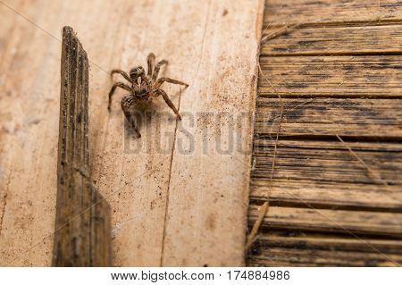 Jumping Spider(Salticidae) Spider in Thailand on wood bamboo.