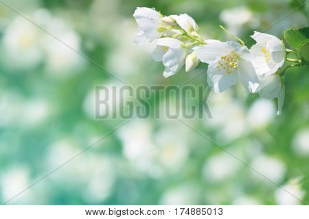 Spring natural background with bright blooming jasmine
