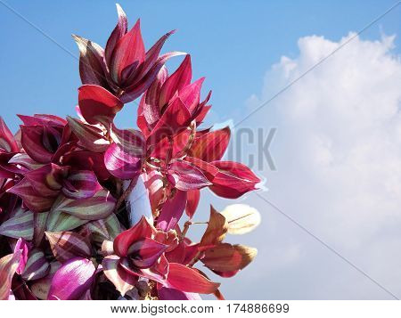 Beautiful Purple Dendrobium orchid flower on blue skies,Purple orchid flower on blurred natural,Thai orchid.