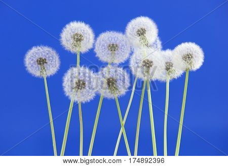Dandelion flower on blue color background, object on blank space backdrop, nature and spring season concept.