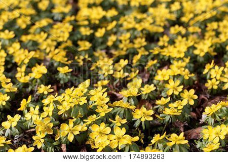A field of flowers of winter aconite (Eranthis hyemalis) poster