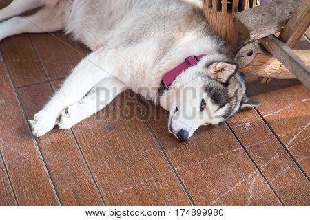 Siberian Husky. The Siberian Husky rests on the wooden.