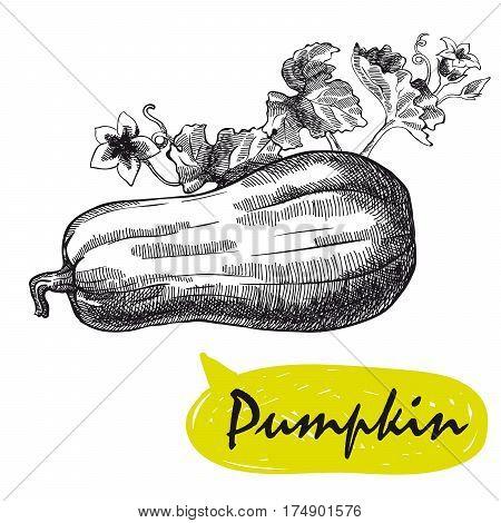 pumpkin. hand drawn vector sketch on a white background