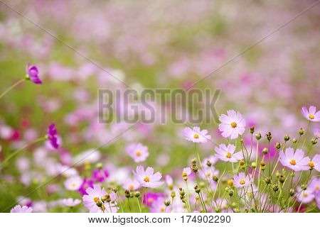 Pink cosmos flowers in front of pink blurs