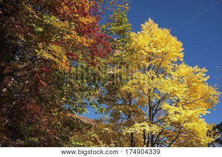 Autumn yellow Katsura tree(Cercidiphyllum japonicum) and colorful trees in Matsumoto, Nagano