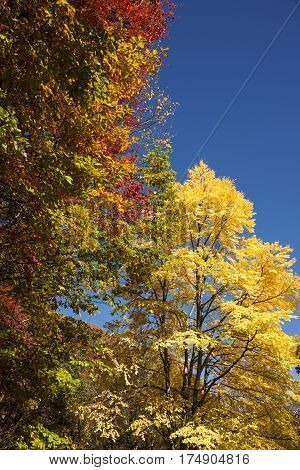 Autumn yellow Katsura(Cercidiphyllum japonicum) tree and colorful trees in vertical composition