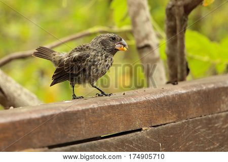 Closeup of one of Darwin's famous ground finches (theory of evolution) eating seeds in Puerto Ayora, Galapagos, Ecuador