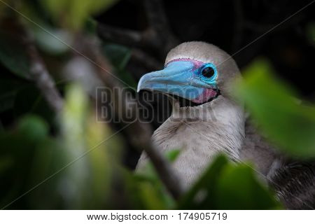 Red-footed booby with bright blue and purple beak peering out from his perch in a shrub on Genovesa Island, Galapagos, Ecuador