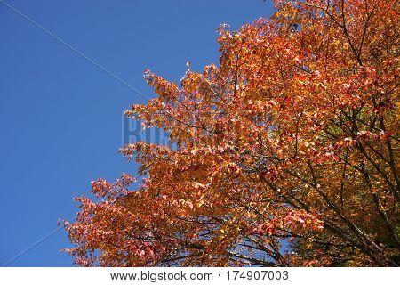 Autumn bright orange maple tree(Acer crataegifolium) under blue sky