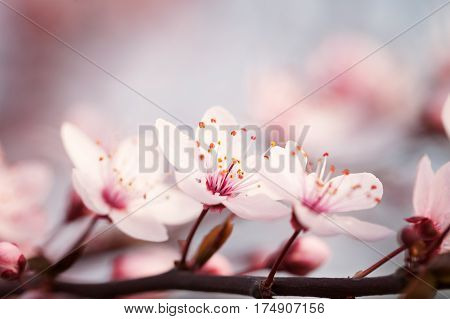 Blossoming branch plums on a softly blurred background