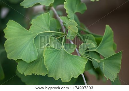 Ginkgo tree (Ginkgo biloba), also known as the ginkgo or gingko.