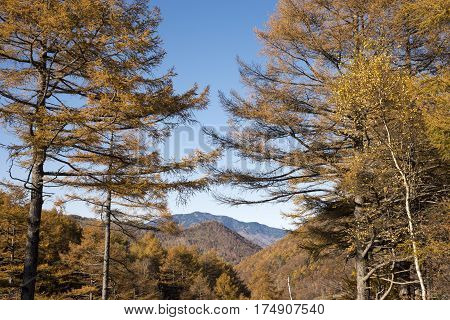 Autumn larch trees in front of mountain under blue sky