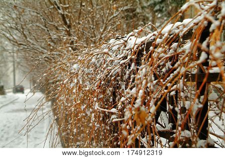 a hedge in the snow, street Shabolovka, Moscow