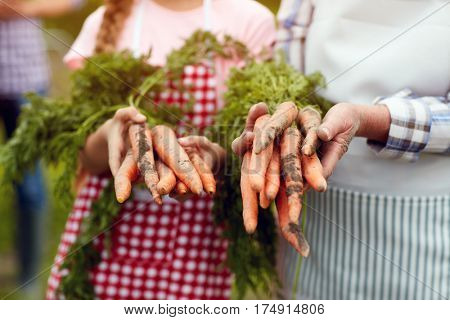 Close up of domestic grown carrots in farmer's hands