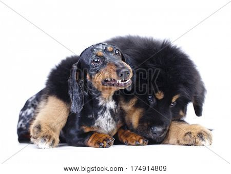 Puppy and dachshund, dachshund teeth,