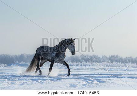 Thoroughbred Spanish gray stallion walks on freedom. Side view.