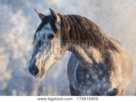 Winter portrait of Spanish gray horse with long mane at sunset light
