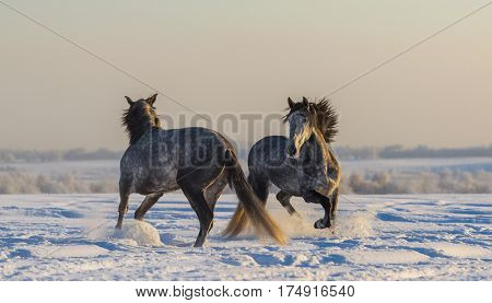Dancing Spanish horses. Two Andalusian gray stallions playing together on winter pasturage  at sunset light