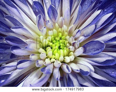 White-blue chrysanthemum flower. Macro. Background flower mottled chrysanthemum with dew drops. Nature.