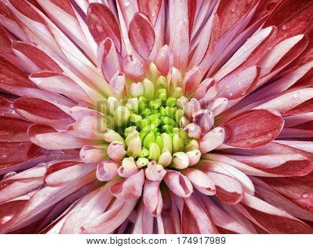 White-red chrysanthemum flower. Macro. Background flower mottled chrysanthemum with dew drops. Nature.