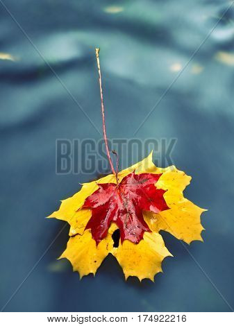 Yellow Orange Red  Autumn Maple Leaves On Water, Dried Leaf