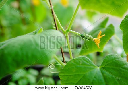 Flowering Of Cucumbers