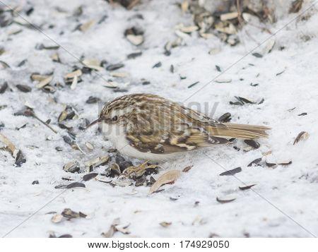 Small bird Eurasian or Common Treecreeper Certhia familiaris close-up portrait on snow selective focus shallow DOF.