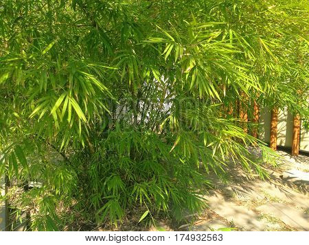 Fresh Green Bamboo Tree With Green Leaves