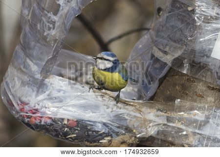 Eurasian blue tit Cyanistes caeruleus close-up portrait at bird feeder made from plastic bottle selective focus shallow DOF