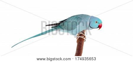 The rose-ringed or ring-necked parakeet, Psittacula krameri, male isolated over white background