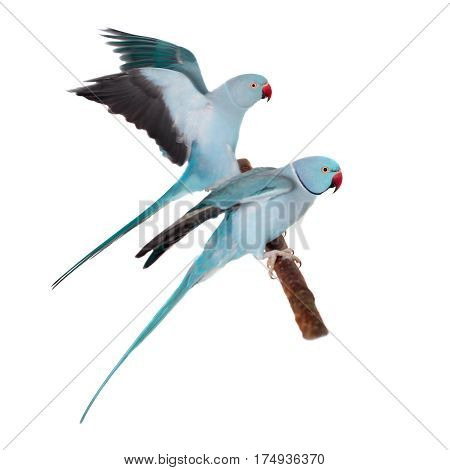 The rose-ringed or ring-necked parakeets, Psittacula krameri, isolated over white background