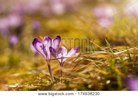Delicate Fragile Crocuses At Early Spring In Sunlit Meadow