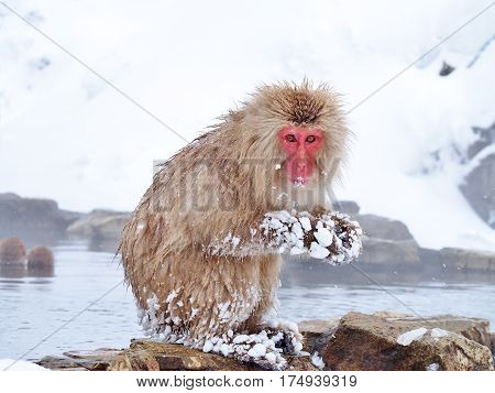 Portrait of a red face Japanese macaque (snow monkey) in hot spring onsen at Jigokudani Monkey Park in Nagano prefecture, Japan.