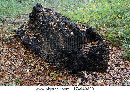 decomposing tree trunk on forest floor in autumn